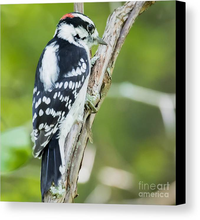 Canon Canvas Print featuring the photograph Downy Woodpecker by Ricky L Jones