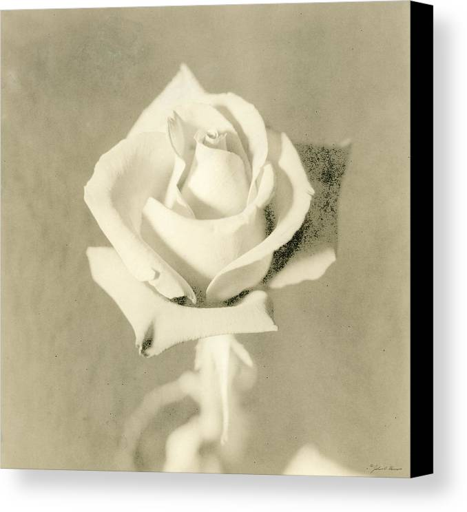 Rose Canvas Print featuring the photograph A Rose Of Alternate Processed by John Harmon