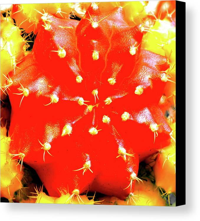 Cactaceae Canvas Print featuring the photograph Cactus Graft by Jarmo Honkanen