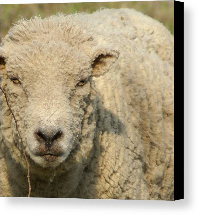 Farm Animal Canvas Print featuring the photograph Ramsy - Debbie-may by Debbie May