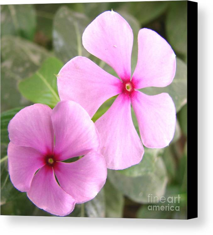 Rosy Periwinkle Canvas Print featuring the photograph Two Flowers- Rosy Periwinkle by Shariq Khan