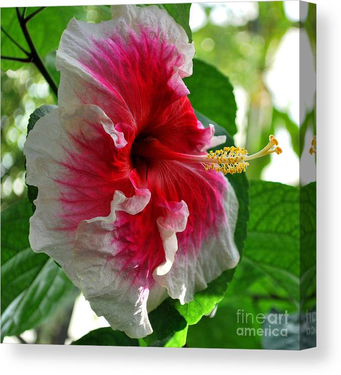 Hibiscus Canvas Print featuring the photograph Pink And White Hibiscus by Nancy Mueller