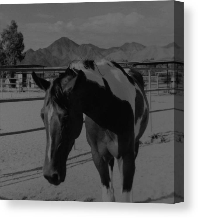 Black And White Canvas Print featuring the photograph Mr Ed In Black And White by Rob Hans