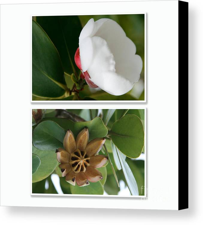 Aloha Canvas Print featuring the photograph Clusia Rosea - Clusia Major - Autograph Tree - Maui Hawaii by Sharon Mau