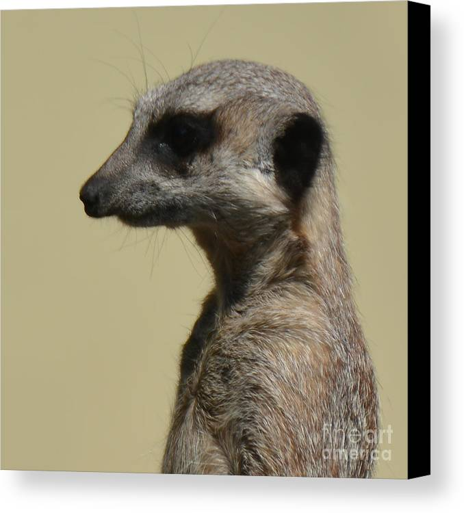 (c) Paul Davenport Canvas Print featuring the photograph Desultory Meerkat by Paul Davenport