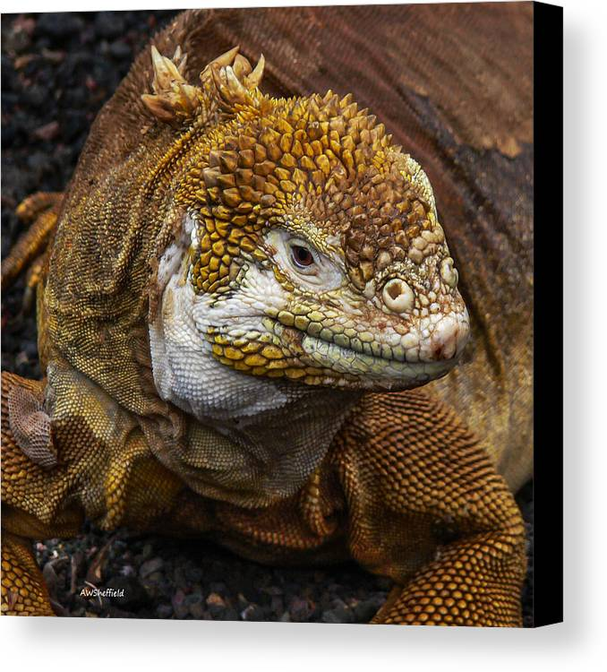 Galapagos Canvas Print featuring the photograph Galapagos Land Iguana by Allen Sheffield