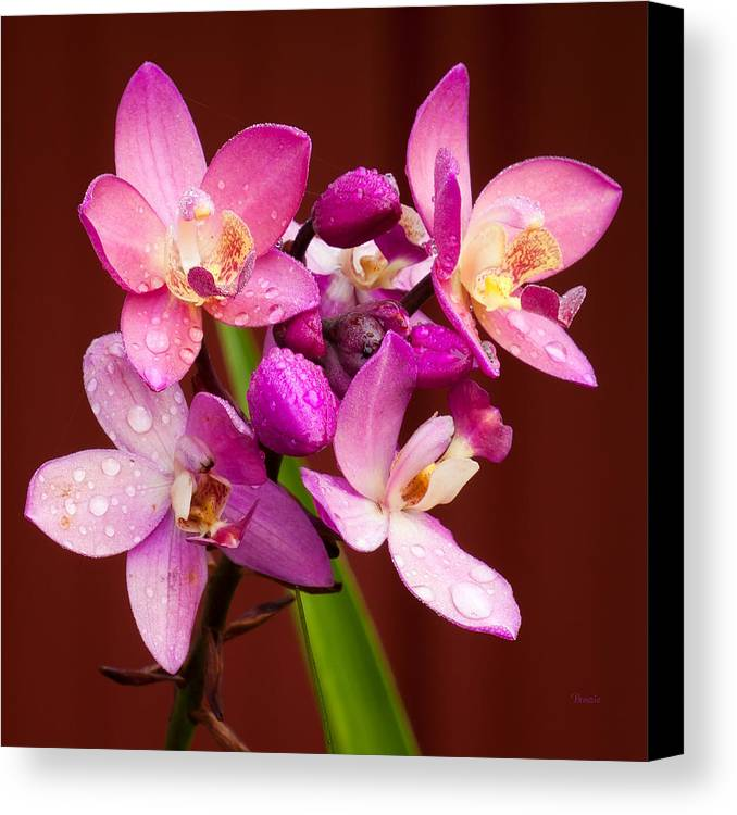 6201 Canvas Print featuring the photograph Ground Orchid by Marx Broszio