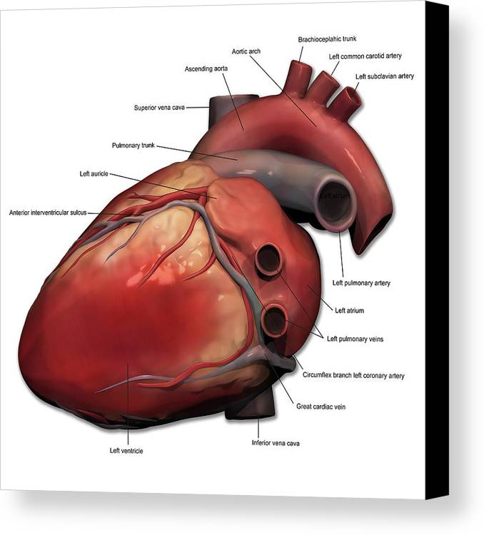 Lateral View Of Human Heart Anatomy Canvas Print / Canvas Art by ...