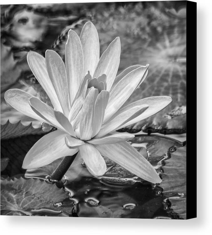 Water Lily Canvas Print featuring the photograph Lily Petals - Bw by Carolyn Marshall
