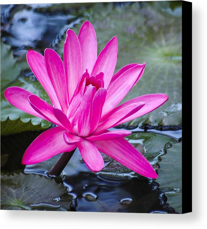 Water Lily Canvas Print featuring the photograph Lily Petals by Carolyn Marshall