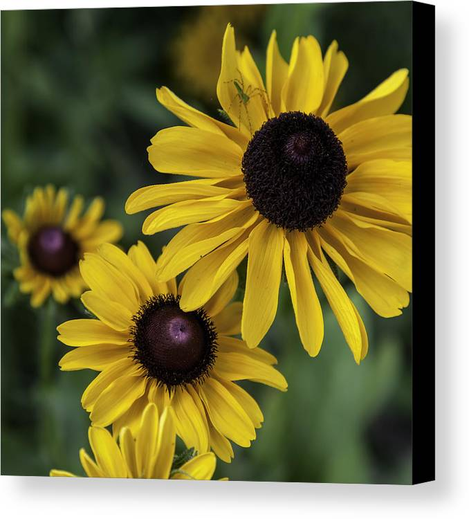Little Green Spider On Black-eyed Susan Canvas Print featuring the photograph Little Green Spider On Black-eyed Susan by Lynn Palmer
