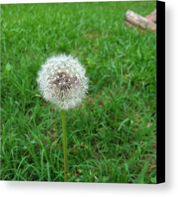 Dandelion Canvas Print featuring the photograph Make A Wish by Marcia B