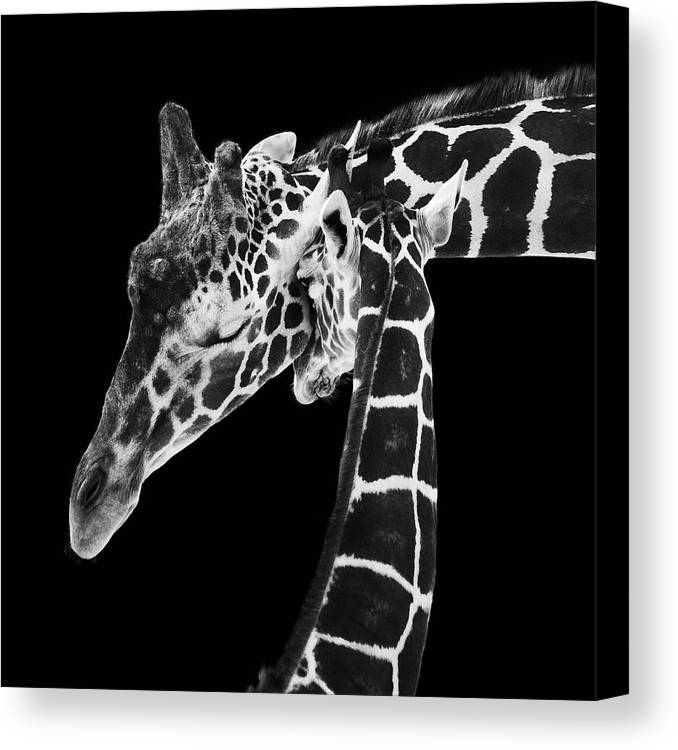 3scape Photos Canvas Print featuring the photograph Mother And Baby Giraffe by Adam Romanowicz