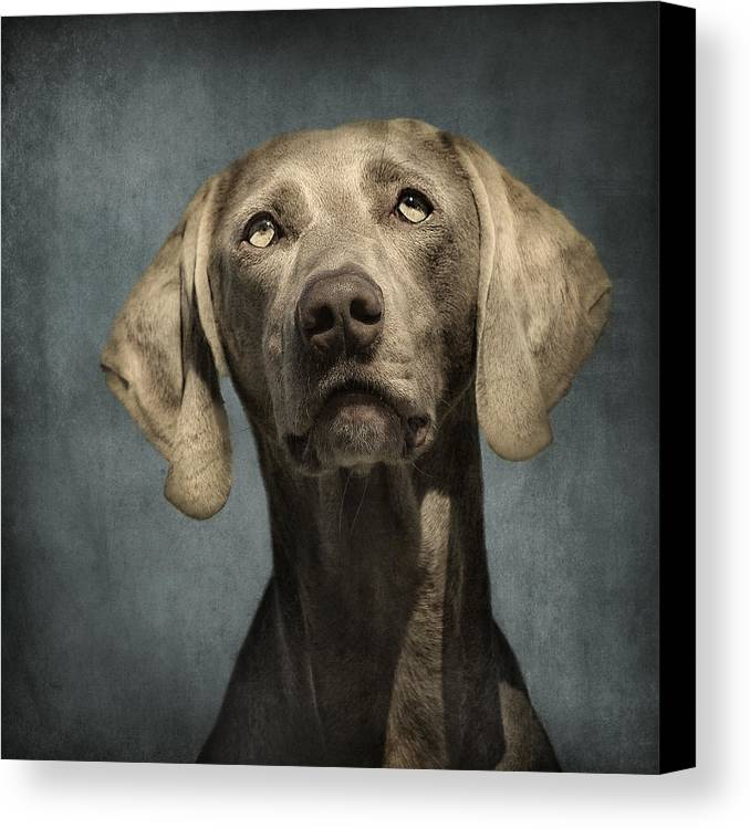 Dog Canvas Print featuring the photograph Portrait Of A Weimaraner Dog by Wolf Shadow Photography