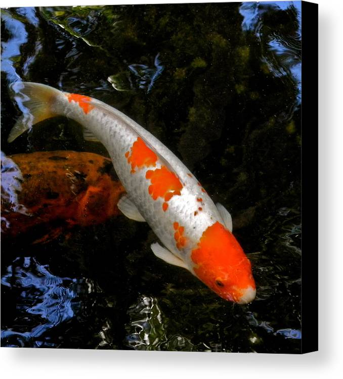 Koi Canvas Print featuring the photograph Salmon And White Koi by Kirsten Giving