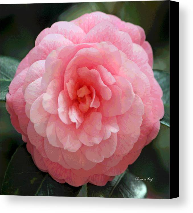 Camellia Canvas Print featuring the photograph Soft And Pink by Suzanne Gaff