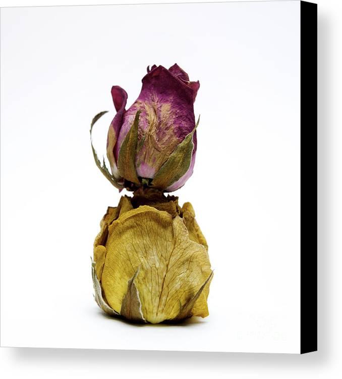 Indoors Canvas Print featuring the photograph Wilted Rose by Bernard Jaubert