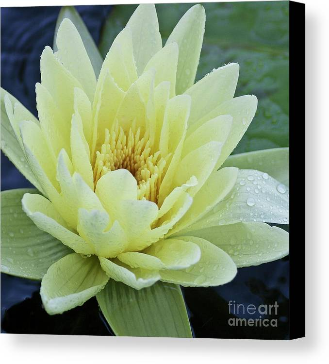 Water Llilies Canvas Print featuring the photograph Yellow Water Lily Nymphaea by Heiko Koehrer-Wagner