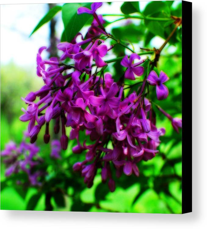 Flowering Tree Canvas Print featuring the photograph Spring Blooms by Simone Hester