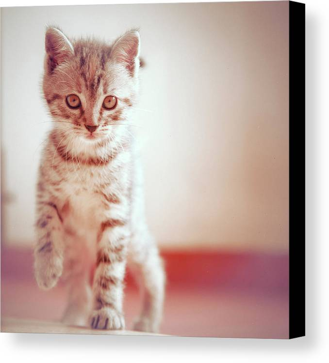 Square Canvas Print featuring the photograph Kitten Walking On Floor by Alberto Cassani