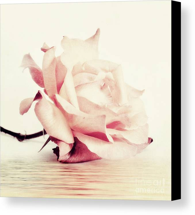 Rose Canvas Print featuring the photograph Lucid by Priska Wettstein
