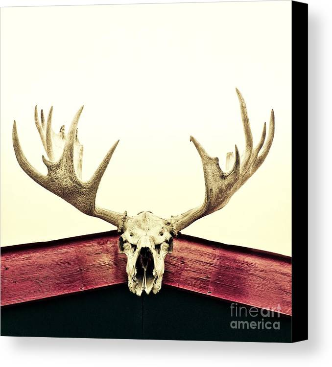 Moose Canvas Print featuring the photograph Moose Trophy by Priska Wettstein