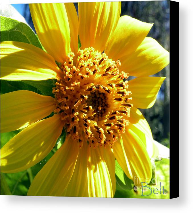 Sunflower Canvas Print featuring the photograph Sunflower No.19 by Christine Belt