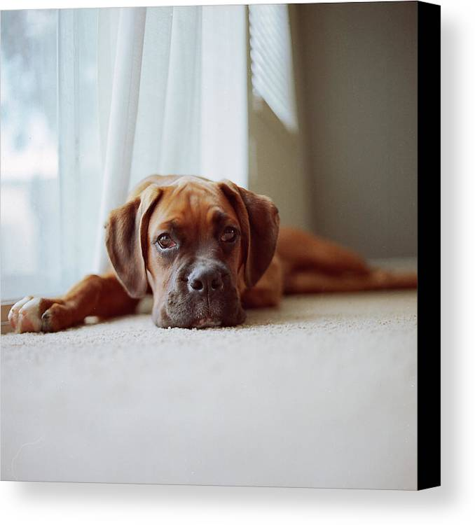 Square Canvas Print featuring the photograph Tan Boxer Puppy Laying On Carpet Near Window by Diyosa Carter