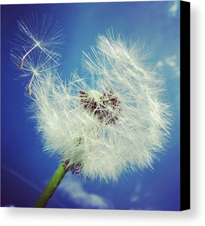 Dandelion Canvas Print featuring the photograph Dandelion And Blue Sky by Matthias Hauser