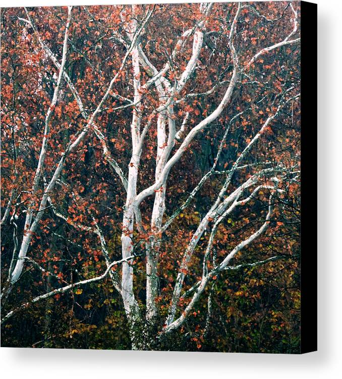 American Canvas Print featuring the photograph American Sycamore # 2 by Jacob Cane