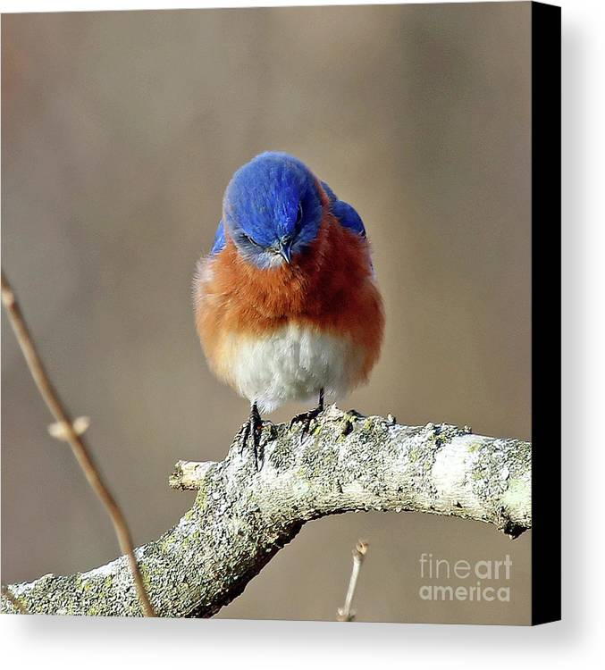 Bluebird Canvas Print featuring the photograph Angry Bird by Steve Gass