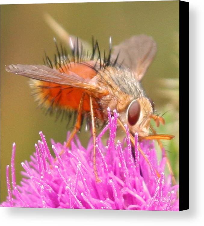 Nature Canvas Print featuring the photograph Bee On A Thistle by Doug Johnson