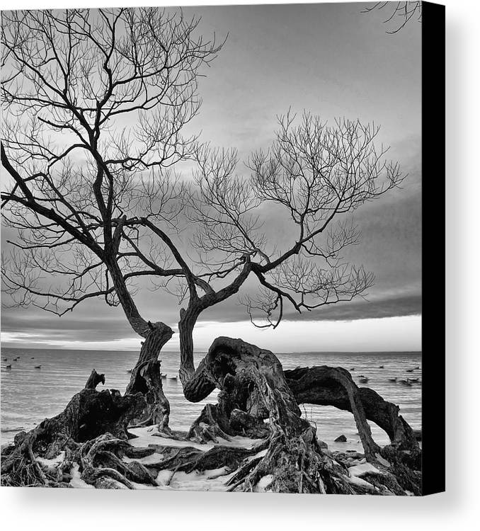 Lake Ontario Canvas Print featuring the photograph Black And White Tree by Andre Distel