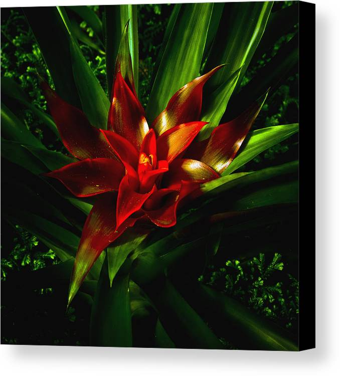 Bromeliad Canvas Print featuring the photograph Bromeliad by John Ater