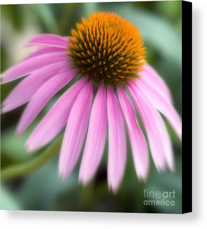 Purple Canvas Print featuring the photograph Dreamy Coneflower by Jeannie Burleson