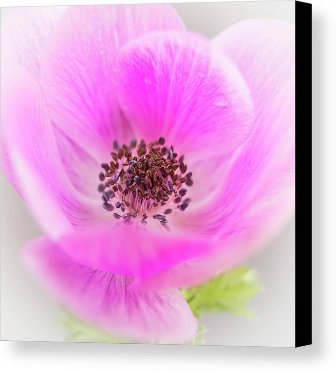 Anemone Canvas Print featuring the photograph Floating by Caitlyn Grasso