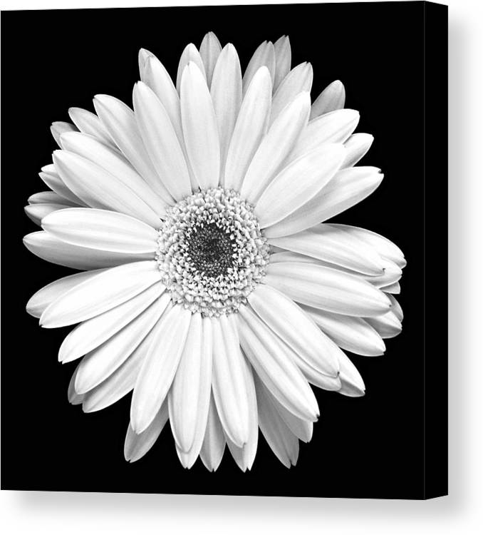 Gerber Canvas Print featuring the photograph Single Gerbera Daisy by Marilyn Hunt