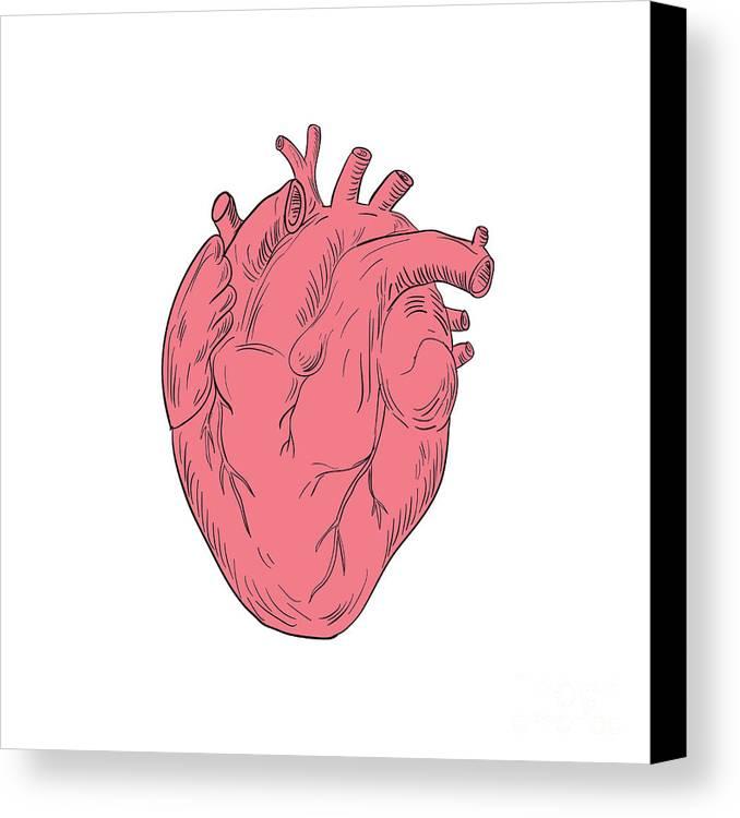 Human Heart Anatomy Drawing Canvas Print Canvas Art By Aloysius