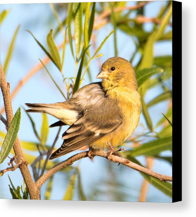 Bird Canvas Print featuring the photograph Lesser Goldfinch by Dan McManus