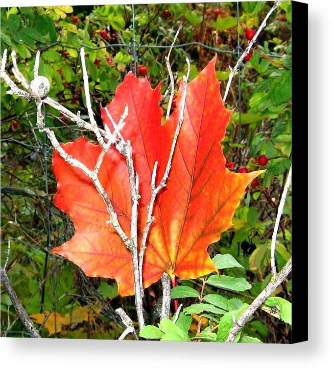 Autumn Canvas Print featuring the photograph Maple Mania 6 by Will Borden