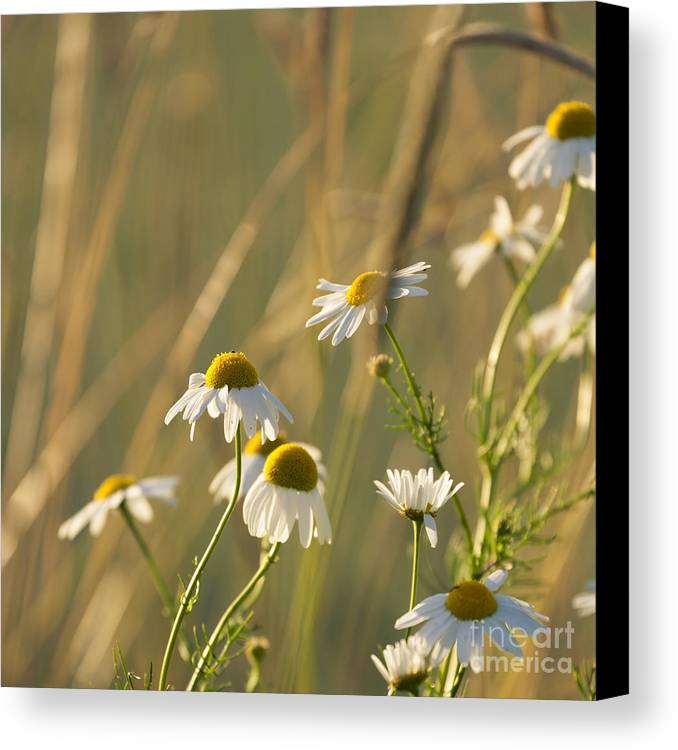 Mayweed Canvas Print featuring the photograph Mayweed by Lasse Ansaharju