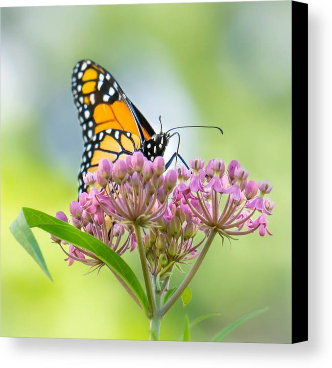 Butterfly Canvas Print featuring the photograph Monarch Butterfly On Swamp Milkweed by Jim Hughes