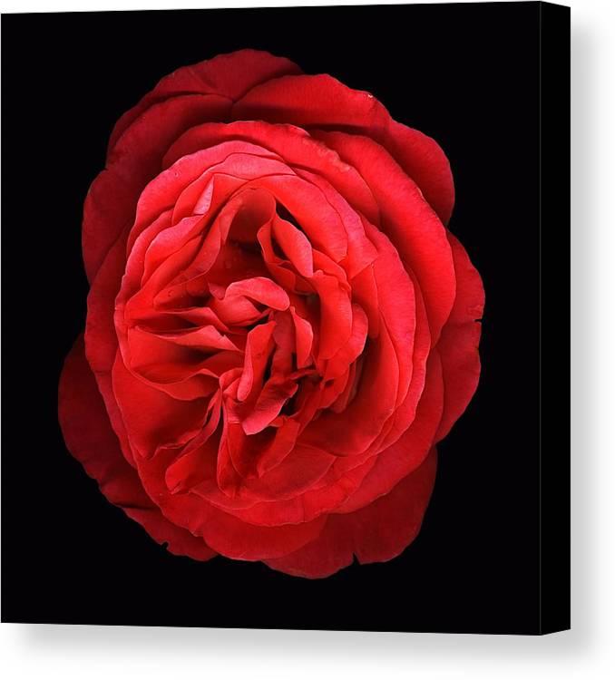 Scanography Canvas Print featuring the photograph Orange Rose by Deborah J Humphries