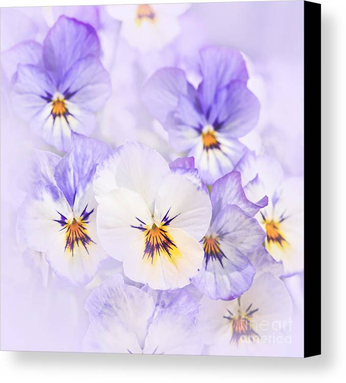 Pansies Canvas Print featuring the photograph Purple Pansies by Elena Elisseeva