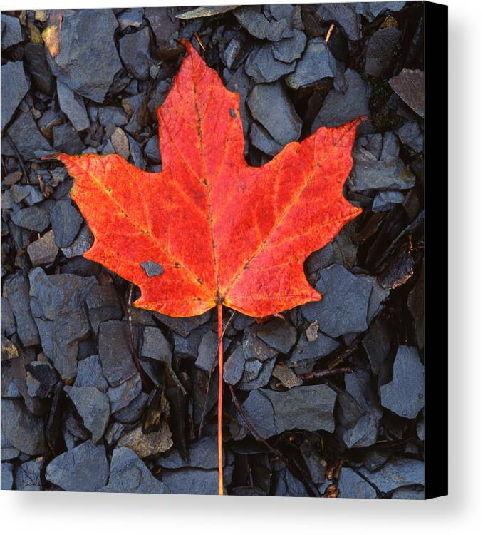 Black Shale Canvas Print featuring the photograph Red Maple Leaf On Black Shale by John Harmon