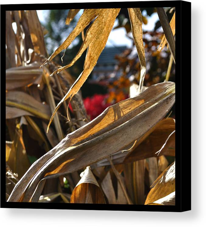 Corn Stalk Canvas Print featuring the photograph Stalks by Tim Nyberg
