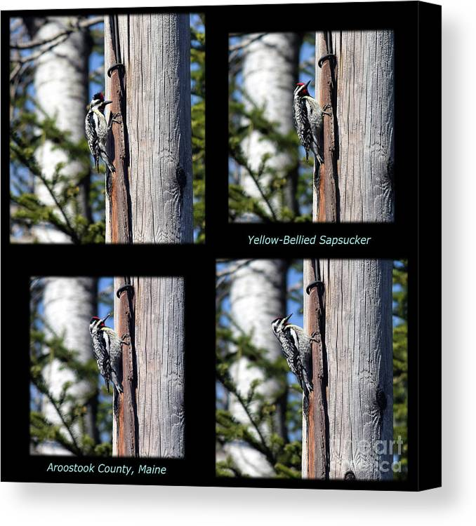 Sphyrapicus Varius Canvas Print featuring the photograph Yellow-bellied Collage With Text by William Tasker