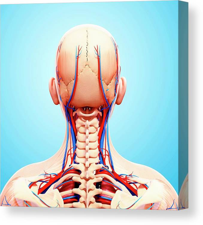 Artwork Canvas Print featuring the photograph Human Cardiovascular System by Pixologicstudio/science Photo Library