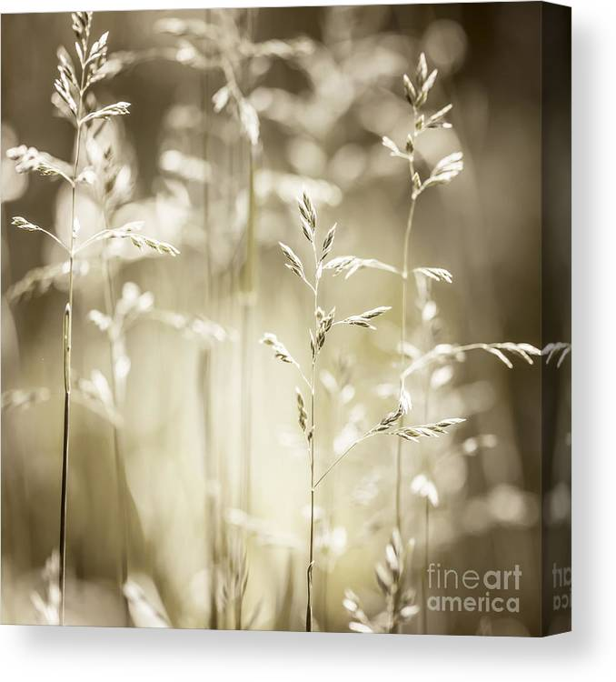 Grass Canvas Print featuring the photograph June Grass Flowering by Elena Elisseeva