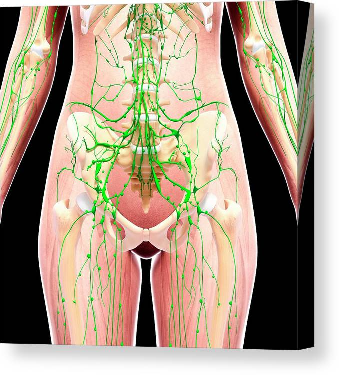 Artwork Canvas Print featuring the photograph Human Lymphatic System by Pixologicstudio/science Photo Library